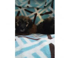 Mini Dachshund Yorkies mix Puppies for sale