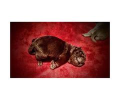 Akc mini Shar Pei Puppies