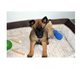 3 Malinois Pups Ready to go to a new home