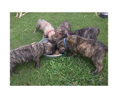 English Mastiff puppies for sale - AKC registered