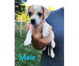 8 week old Cute  beagle puppies available for rehoming