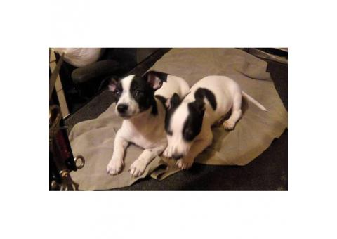 1 male and 1 female Rat Terrier Puppies