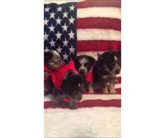 4 beautiful blue heeler puppies for sale