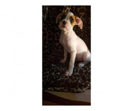 11 weeks old female boxer puppies for sale