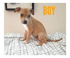 8-week old Bullador puppies