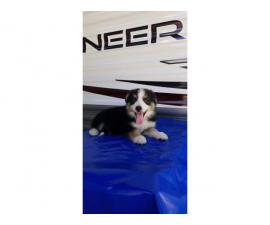 3 loving Border Collie Puppies up for adoption