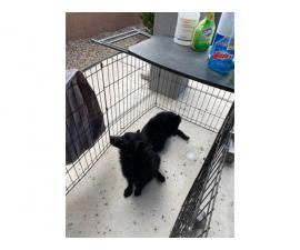 2 AKC Schipperke puppies for sale
