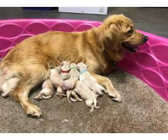 Purebred AKC Golden Retriever puppies