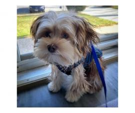 Adorable male Shorkie puppies for sale