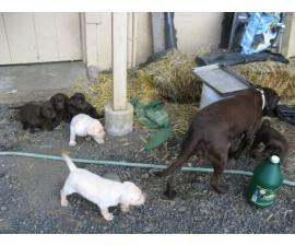 AKC Lab puppies needing a new homes