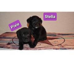 3 Border Aussie puppies