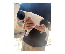 Two boys and one girl Boston terrier puppies