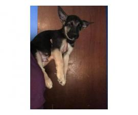 Male and Female purebred German shepherd puppies for adoption