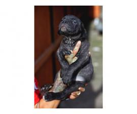 Standard size Cane Corso puppies for sale