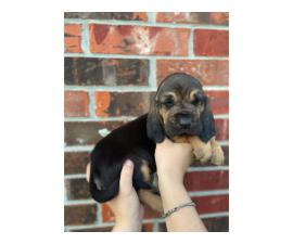 10 Bloodhound puppies for sale