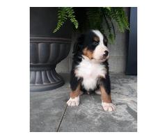 Bernese mountain dog AKC registered
