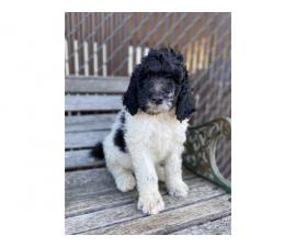 2 males Standard Poodle puppies for sale