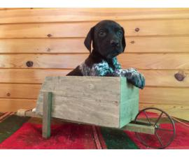 Male German Shorthaired Pointer Puppies available