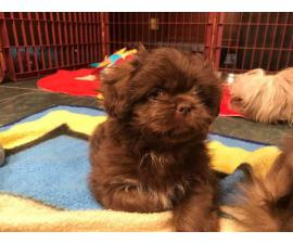 Two shihtzu puppies in search of new homes