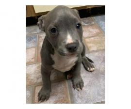 Gorgeous Boys and Girls American Pit Bull Terrier  Puppies For Sale