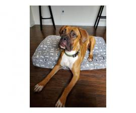 9 months old purebred fawn boxer puppy