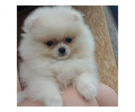 7 Lovely pomeranian puppies for sale