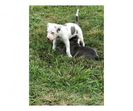 5 Lovely Pitbull puppies are ready to go