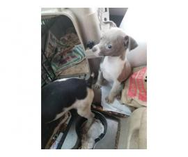 2 miniature rat terrier female puppies