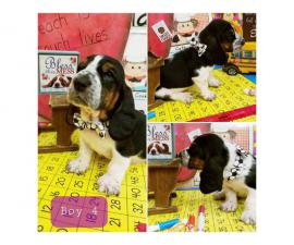 5 male basset hound puppies available