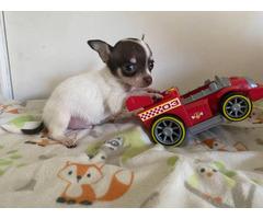Tiny Chihuahuas ready to pick up