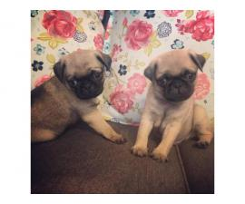 4 cute pug puppies available