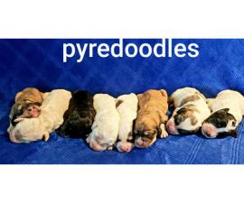 Lovely litter of Pyredoodle puppies