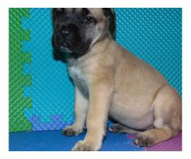 Mastiff puppies are looking for new homes