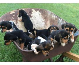 7 full bred Blue Tick Beagle puppies