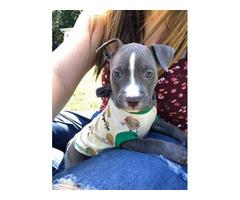 1 male blue nose pit puppy left