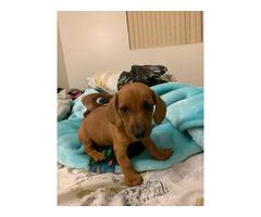 One female Dachshund puppy for sale