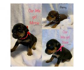 5 Min Pin Puppies for Sale