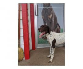 8 months old German Shorthaired Pointer puppy