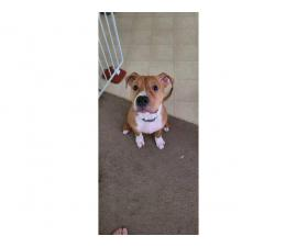 Rehoming 5 months old male pit bull puppy