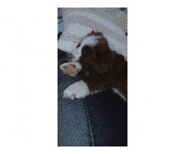 Female Australian Shepherd puppy for adoption