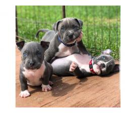4 Blue nose pitbull puppies For sale