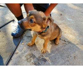 7 german pit puppies to be  rehomed