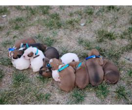 5 males and 4 females purebred boxer puppies available