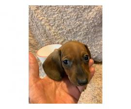 One male mini dachshund puppy looking for a new home