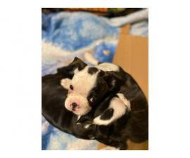 2 pure bred Boston terrier puppies for sale