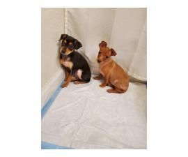 2 beautiful Chiweenie puppies for adoption
