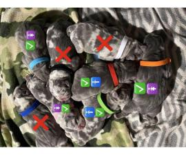5 Stunning American Bully Puppies available
