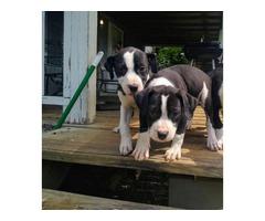 2 females pit bull puppies left
