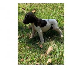 5 German shorthaired pointer puppies for sale