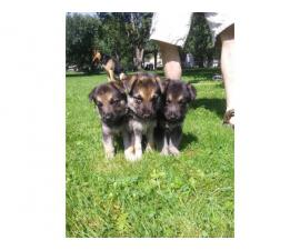 9 purebred German Shepherd puppies available